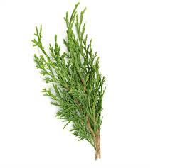 Cypress - Bách địa trung hải